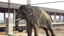 PETA: Indian elephant still being abused