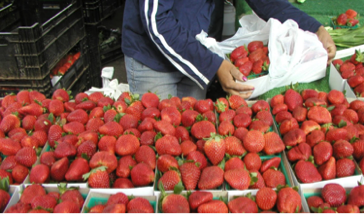 strawberries for sale.png